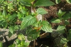 1. Schoko Minze Pflanze