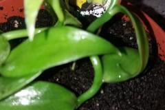 Vanille Orchideen