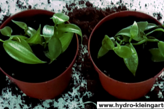 zwei echte Vanille Orchideen