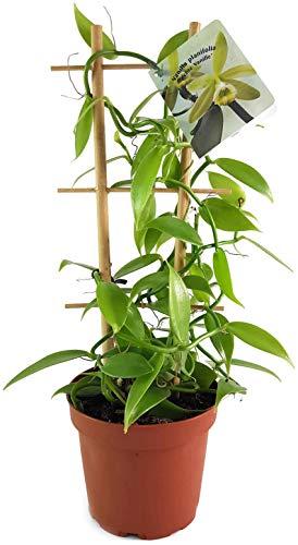 Fangblatt - Vanilla planifolia - die echte Vanille Orchidee als zauberhafte Zimmerpflanze ebenso eine nützliche Dekoration für Küche und Bad