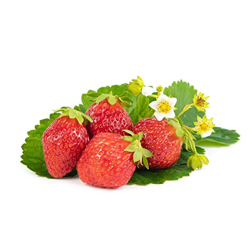 Erdbeerpflanzen / Erdbeerstecklinge