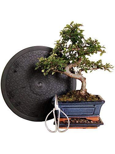 Anfänger Bonsai-Set Ulme - 4 teilig - ca. 30cm hoher Ulmen-Bonsai, Set