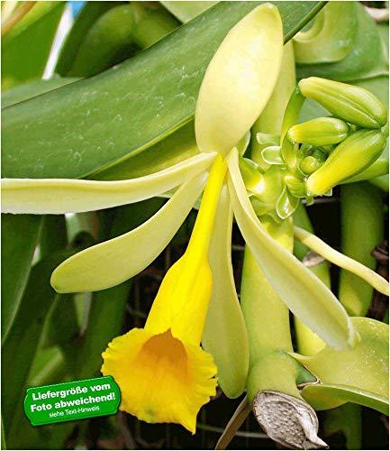 BALDUR-Garten Echte Vanille Pflanze, 1 Topf Vanilla planifolia, Orchidee