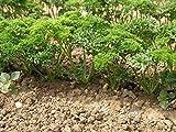 Petersilie -Petroselinum crispum- 1000+ Samen