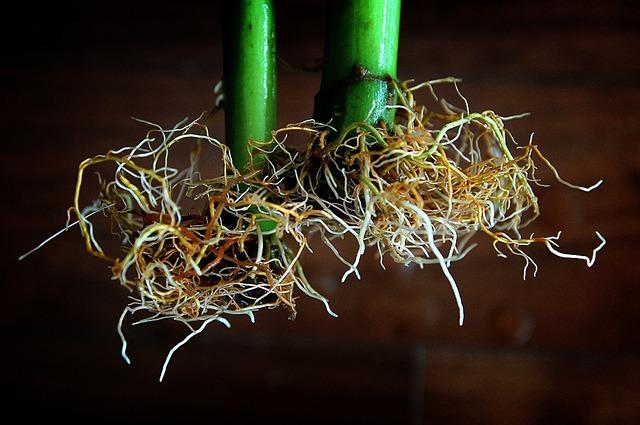 Wurzelballen von einer Pflanze aus einem Hydroponik System