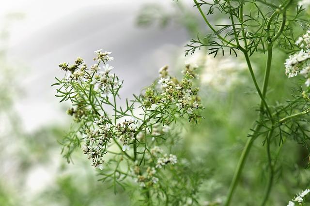 Kräutergarten anlegen: Koriander