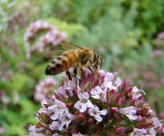 Thymian Blühte mit Biene